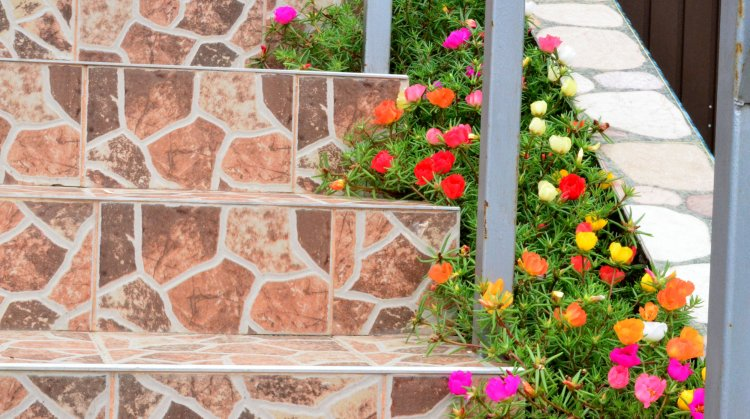 Portolacul prosperă în locuri imposibile pentru alte plante florifere